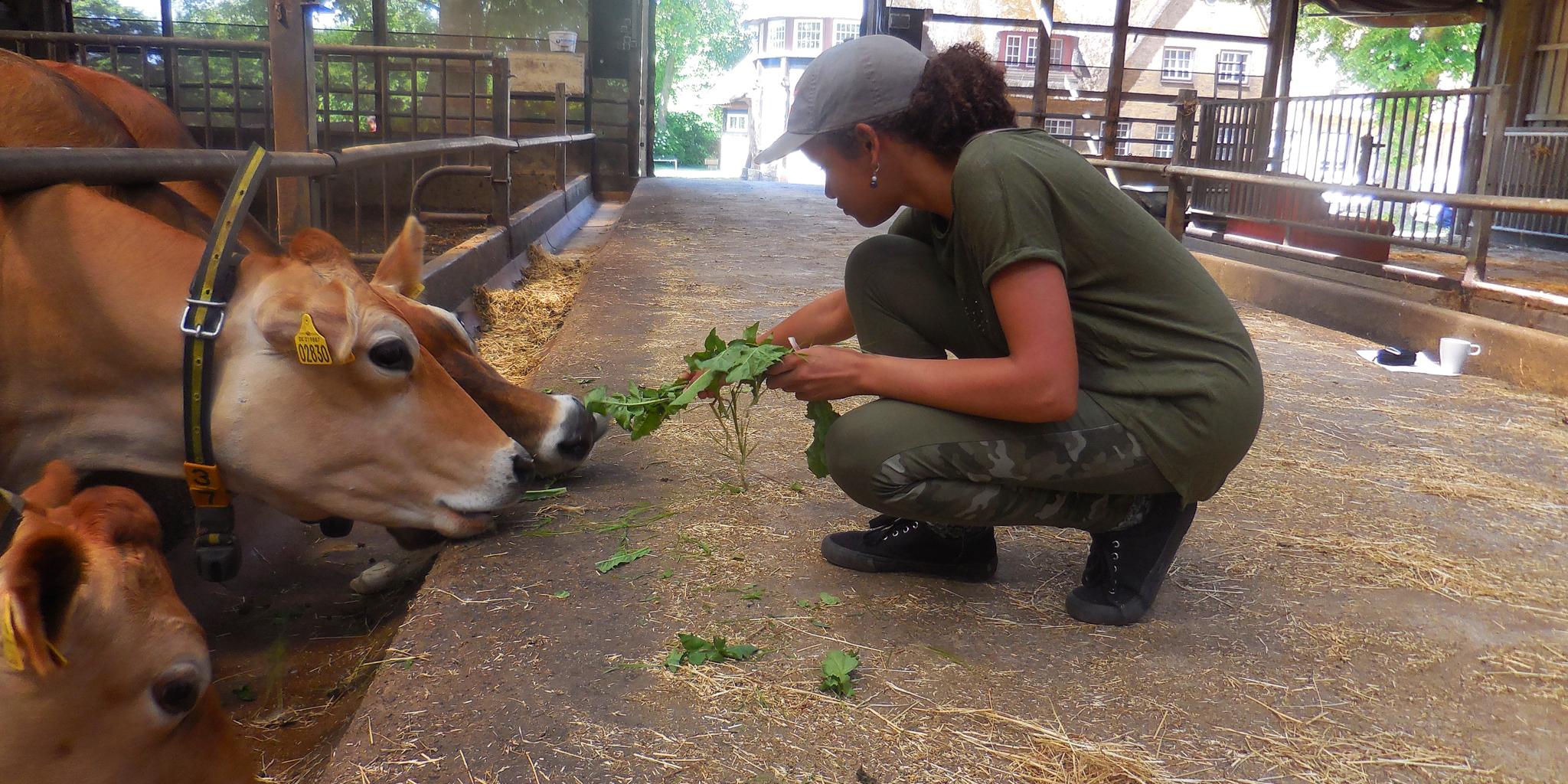 Mädchen füttert Kühe auf dem Bauernhof